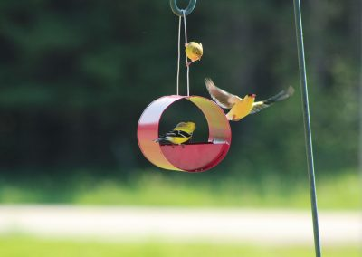 10068 Pinebush Cylindrical Seed Feeder Finch
