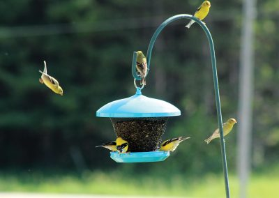 10105 Pinebush Dome Roof Blackoil Peanut Feeder Goldfinch