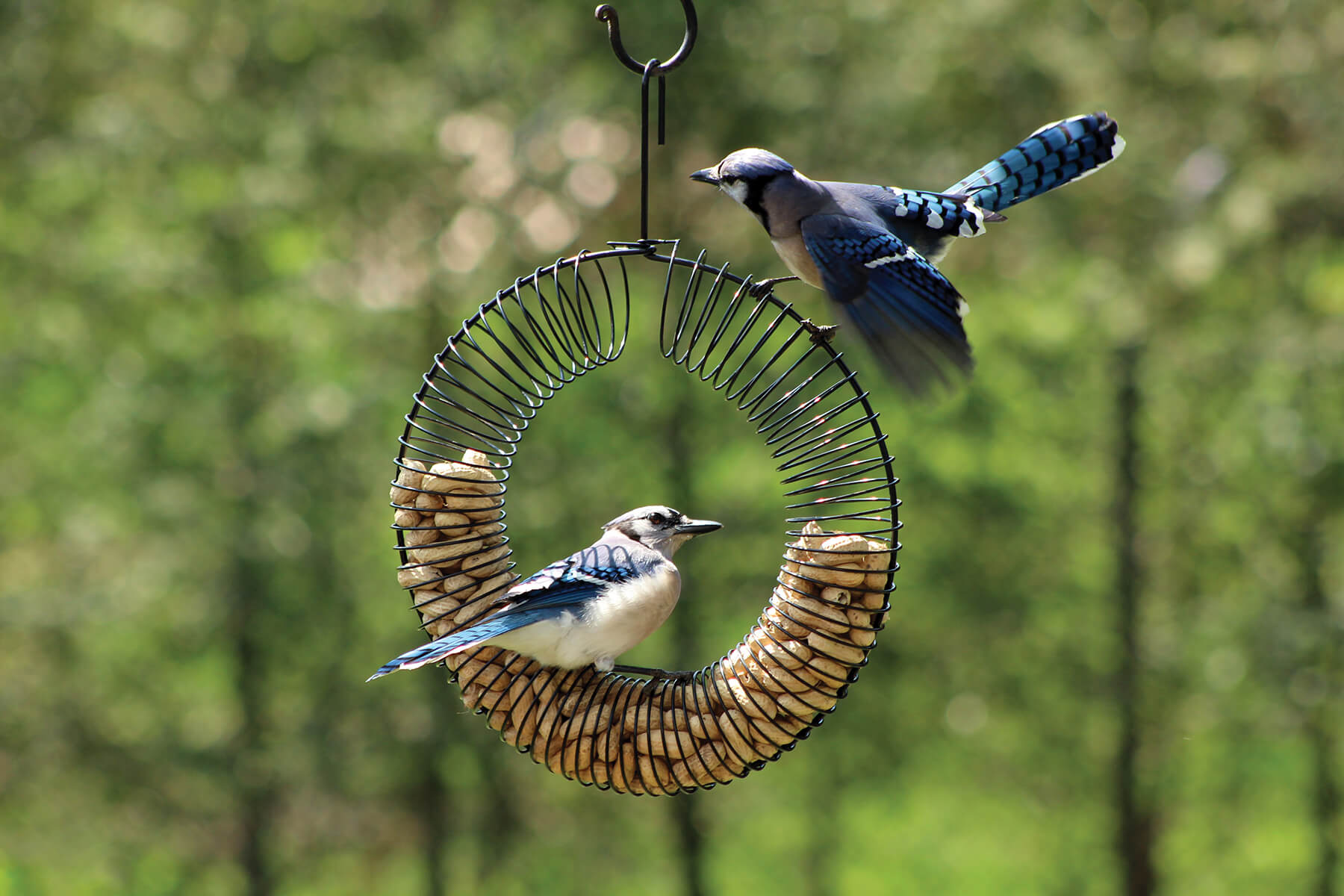 10760 Pinebush Wreath Peanut Feeder Blue Jay 1