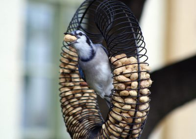 10760 Pinebush Wreath Peanut Feeder Blue Jay