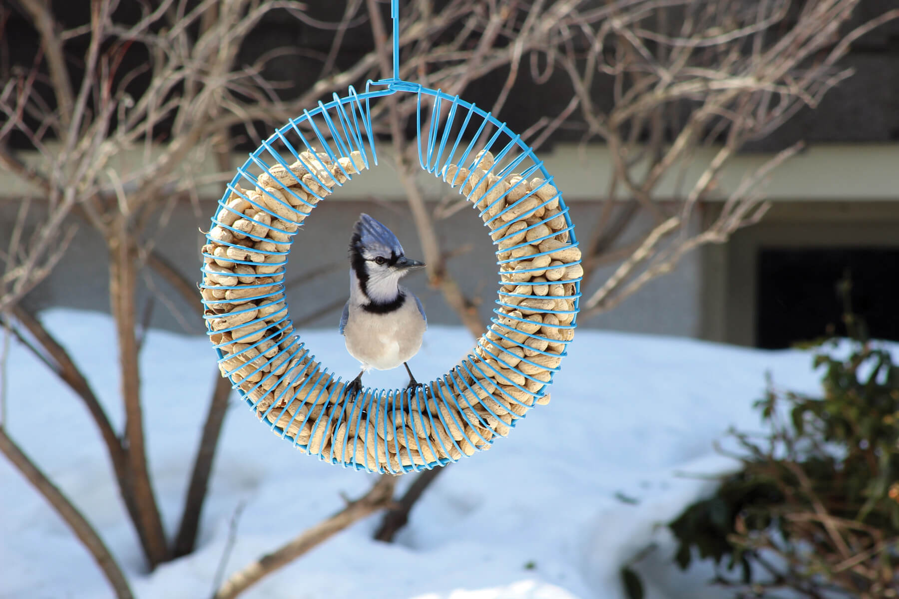 10765 Pinebush Blue Wreath Peanut Feeder Blue Jay