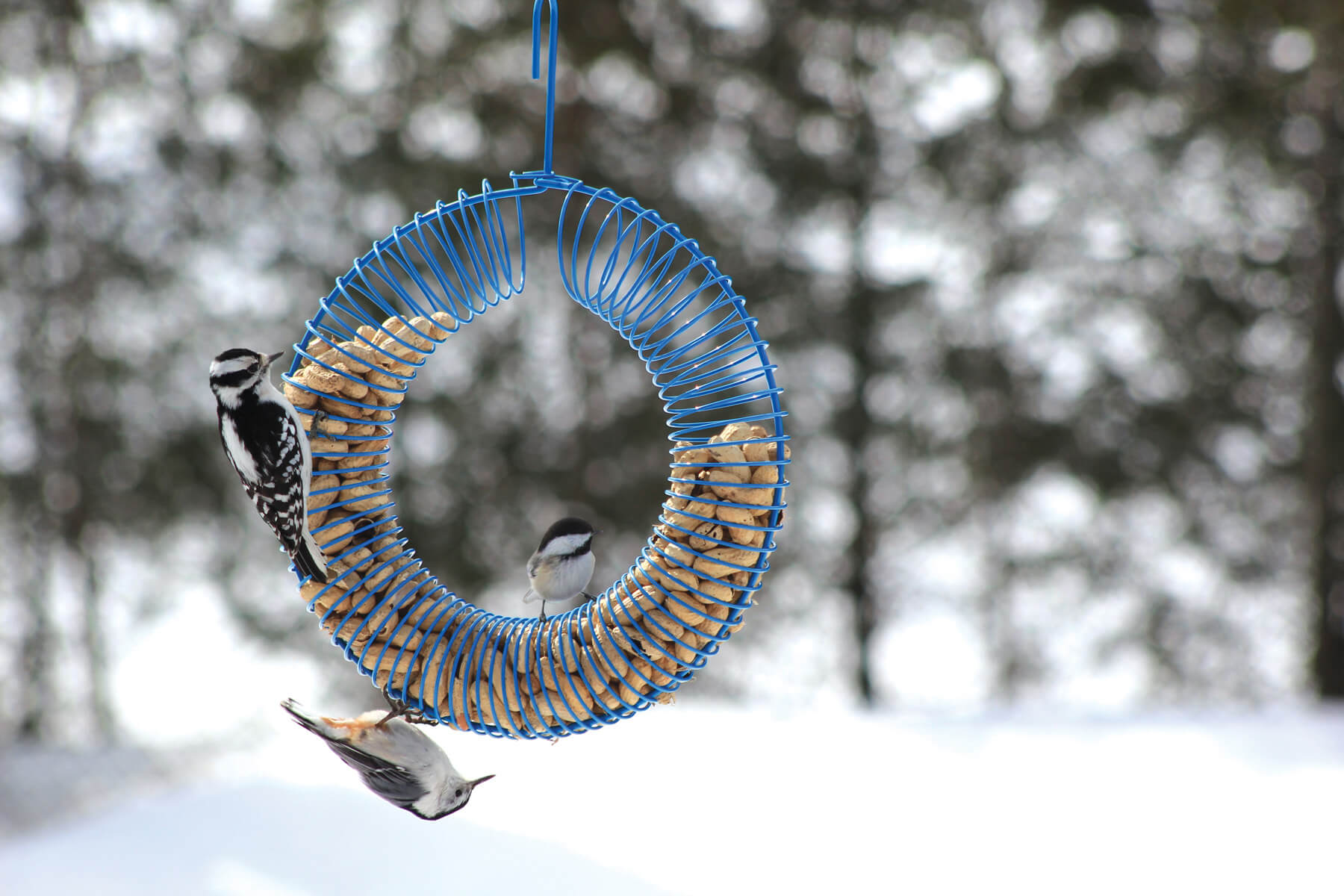 10765 Pinebush Blue Wreath Peanut Feeder Woodpecker Chickadee Nuthatch