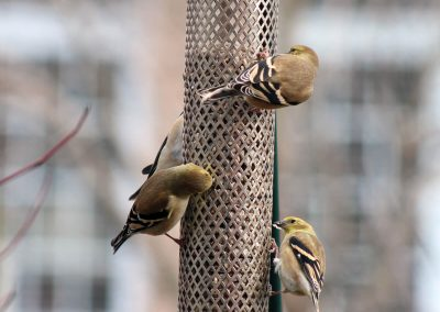 10801 Pinebush Wingfield Sunflower Hearts Chips Feeder Goldfinch
