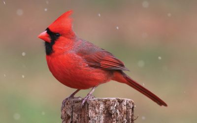 7 Things you should know about cardinals