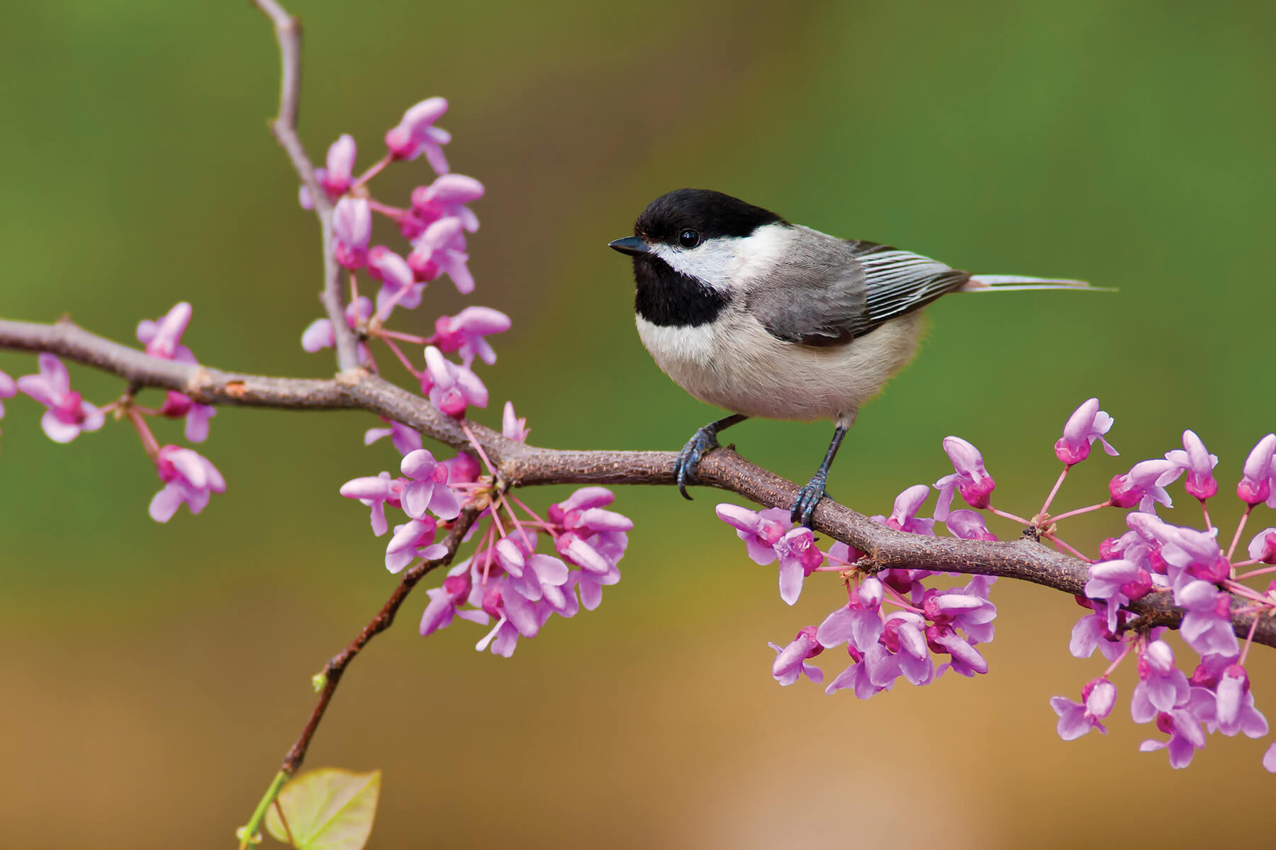 Chickadee theme