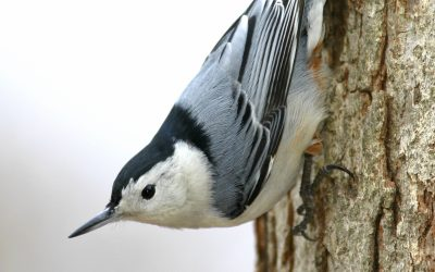 7 things you should know about Nuthatches